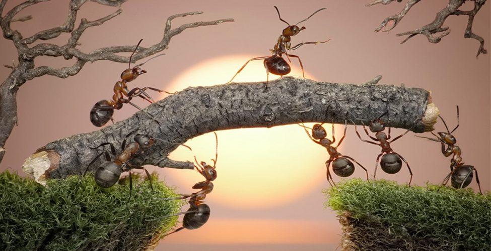 hormigas resilientes
